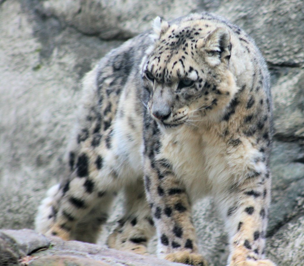 snow leopards in natural seclection The grayish-white form of the ghost of the mountain slinks through the  status of elusive snow leopards,  overhunting has depleted their natural.